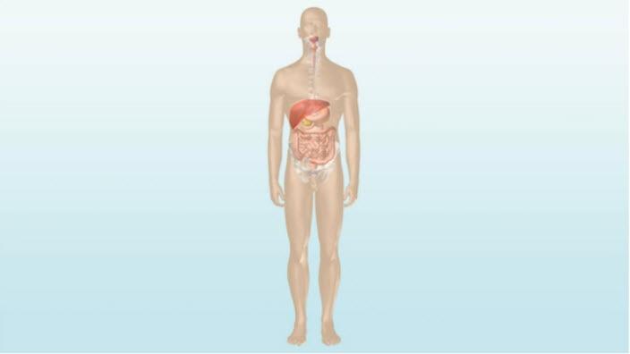 Hvordan tarmen fungerer – lær mer om hovedfunksjonene til tarmen